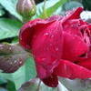 Rose in the rain SaturdaySurpris photo
