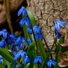 Round 28: Siberian Squill NocKairu photo