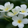 Round 12: White Plumeria NocKairu photo