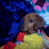 Awww, Penny in a bunch of Blankets!!! Cute! LaurenJasmine photo