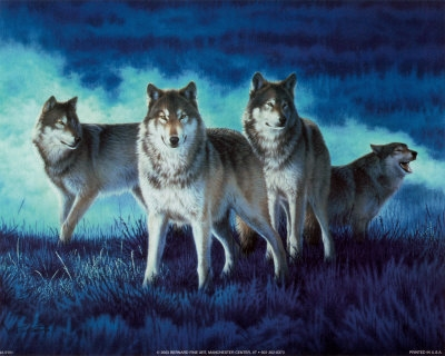 Beautiful serigala, wolf Pack