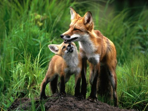 Mom and baby foxes