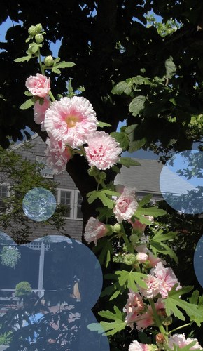 : Tall stalk--Puffy fleurs with rose centers climbing up the stalk--leaves like oak arbre