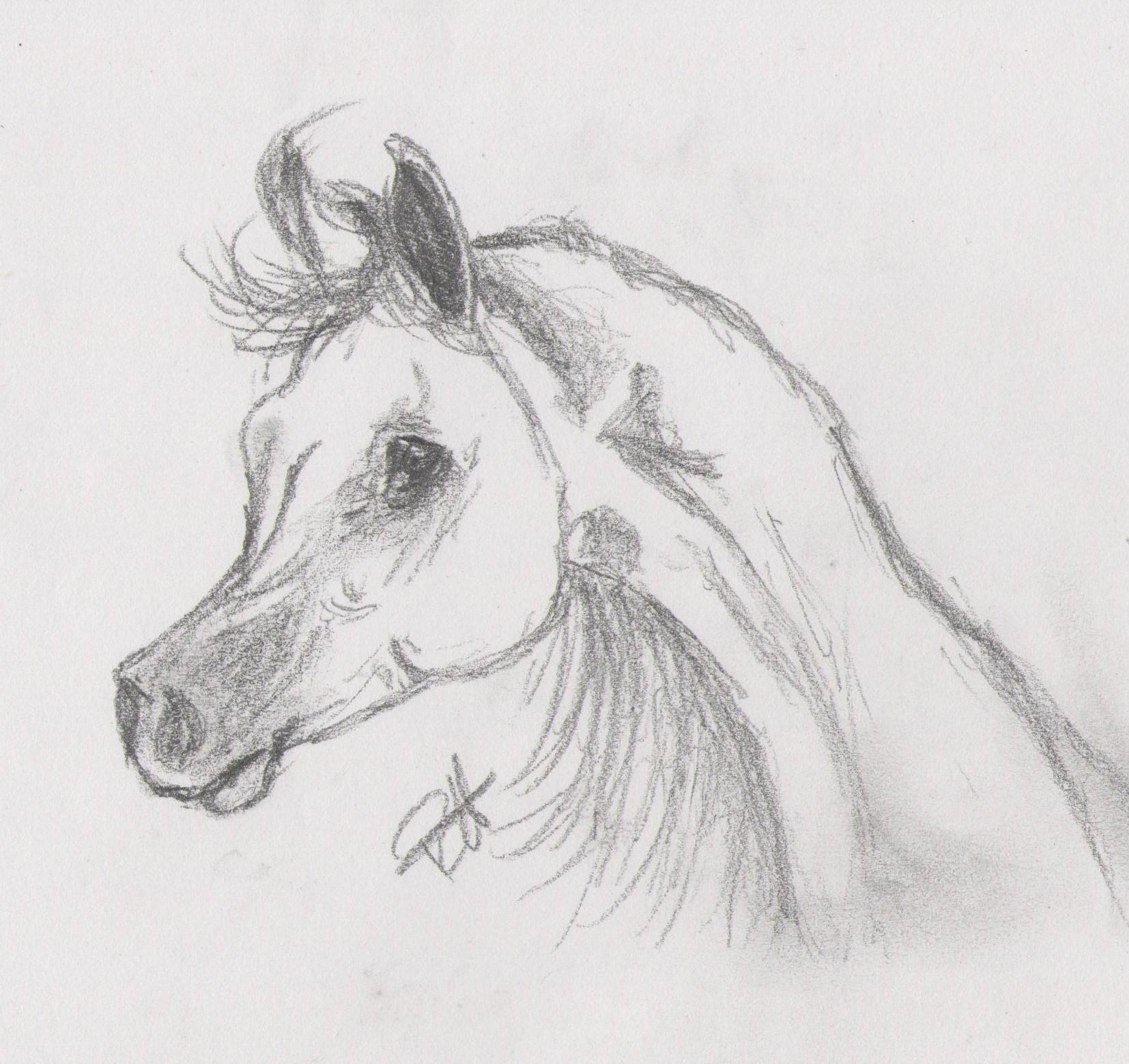 Drawing Of An Arabian Arabian Horses Fan Art 25834073 Fanpop