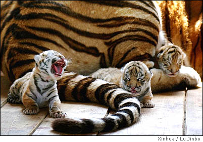 Amur Tiger Kittens