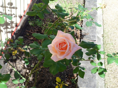 a rose in my garden