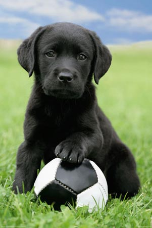 black lab playing footie